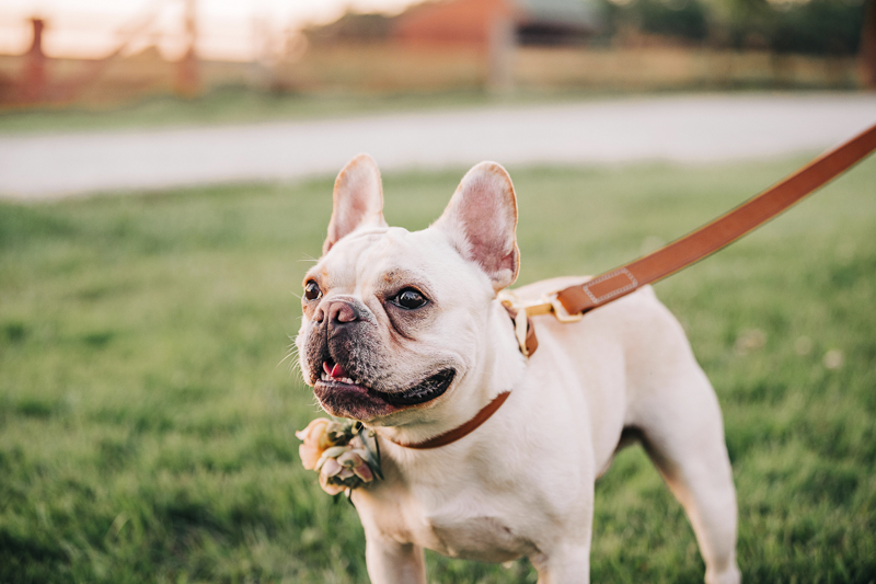 handsome Frenchie, standing in the grass, wedding dog | Landrum Photography