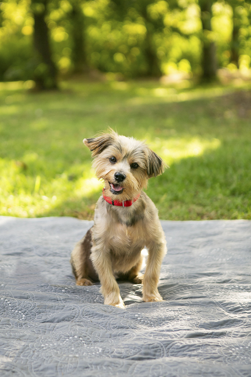 cute Yorkie mix, dog photo shoot, Nashville, TN | Mandy Whitley Photography