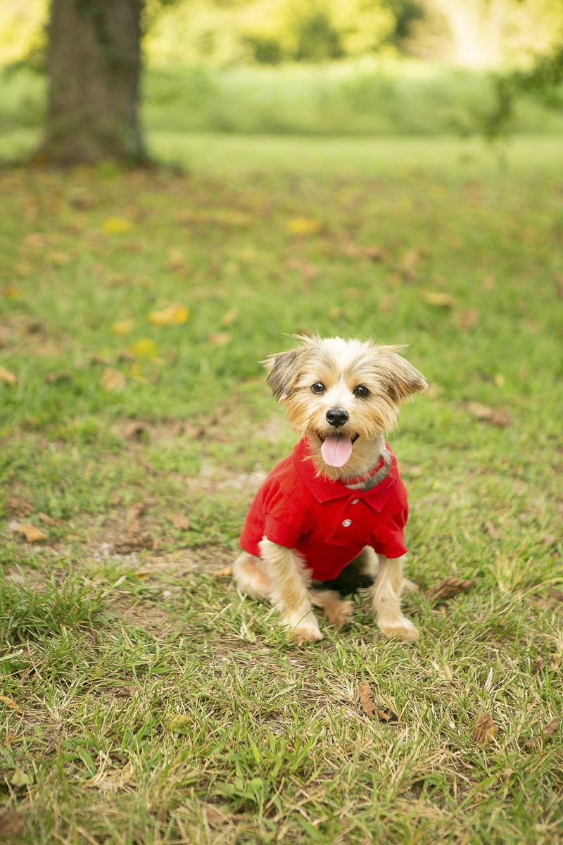 Yorkie mix wearing red shirt and collar, fashion hound, Mandy Whitley Photography   Nashville lifestyle dog photographer