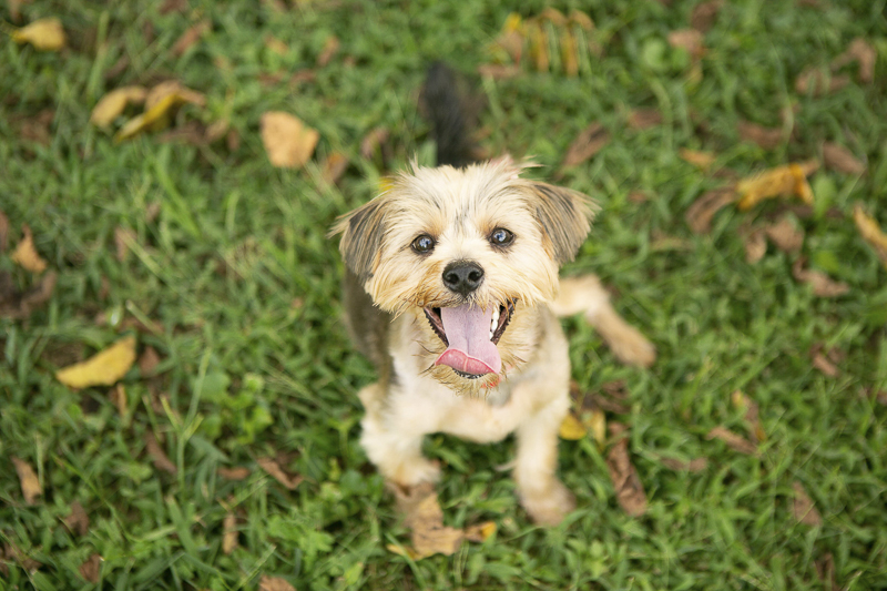cute Yorkie mix sitting on grass, looking up at camera | Mandy Whitley Photography ideas for dog photography