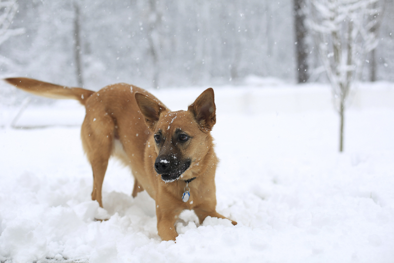 Shepherd mix playing in the snow | ©Melissa Joy Creative – Baltimore pet photography