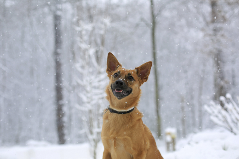 cute mixed breed sitting in the snow | ©Melissa Joy Creative-lifestyle dog photography, snow day session