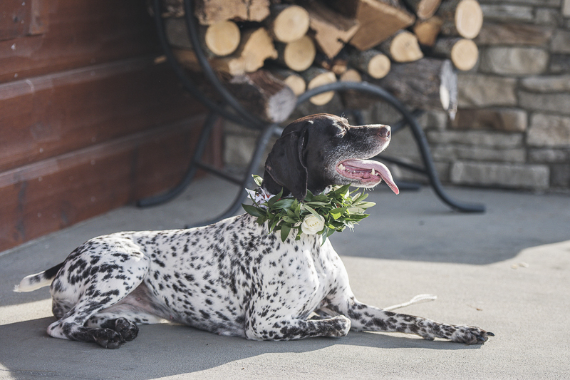 German Shorthaired Pointer soaking up the sun, wedding dog | © epagaFOTO, Kansas City wedding photographer