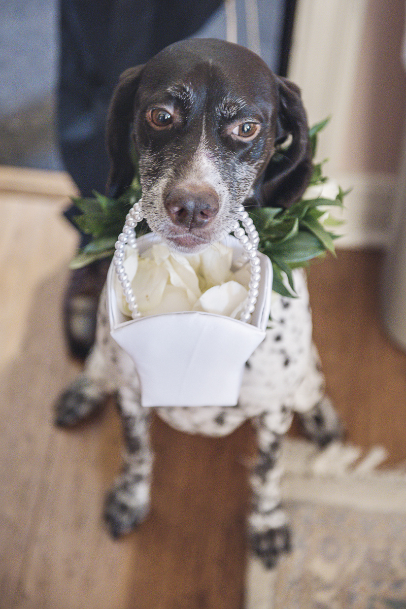 dog carrying flower girl basket, GSP | dogs in weddings, © epagaFOTO