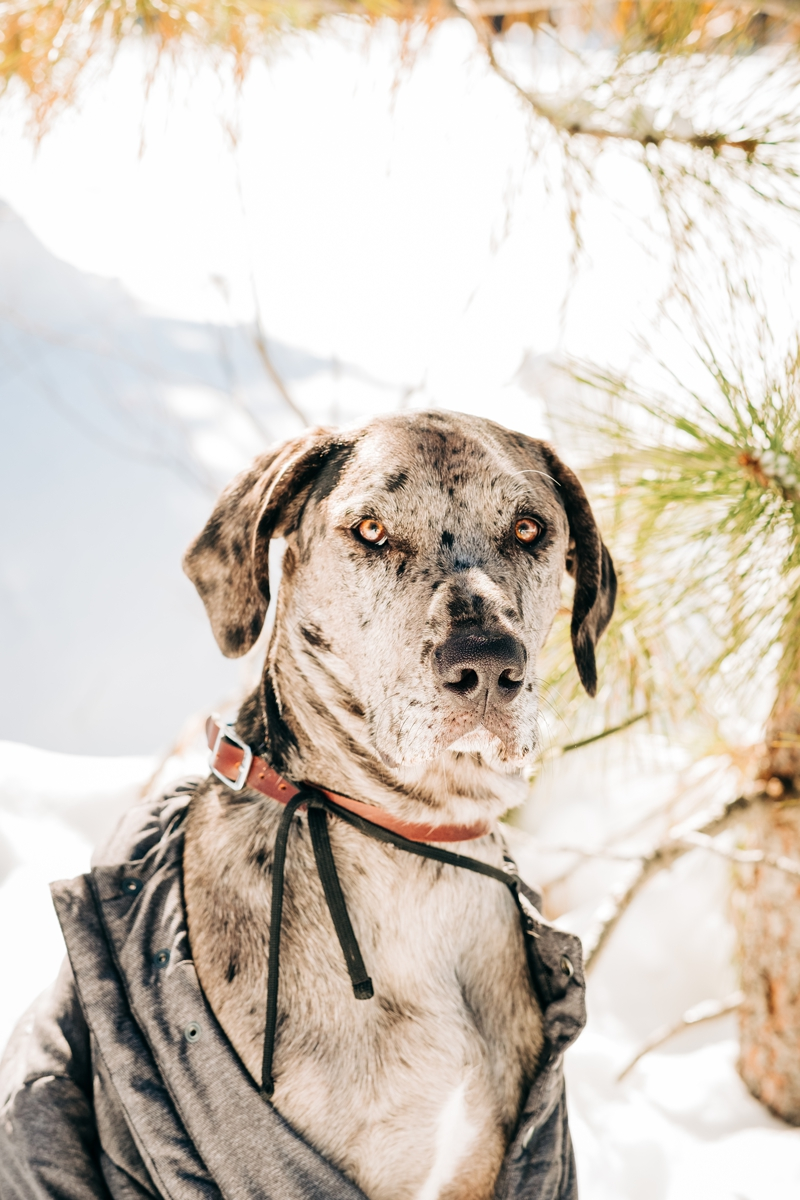 handsome Great Dane mix wearing man's jacket in the snow, ©misterdebs photography