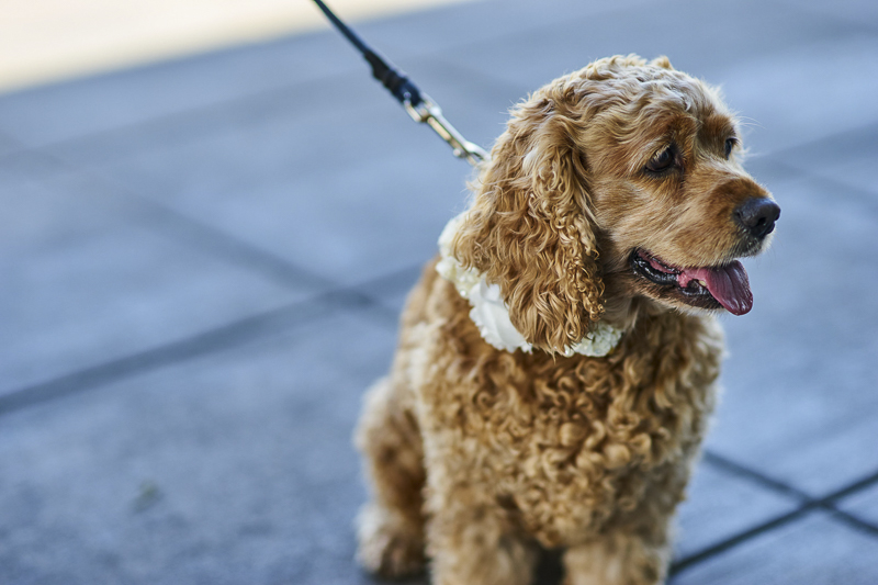 cute tan English Cocker Spaniel wearing fancy wedding collar | ©Lavender Bouquet Photography