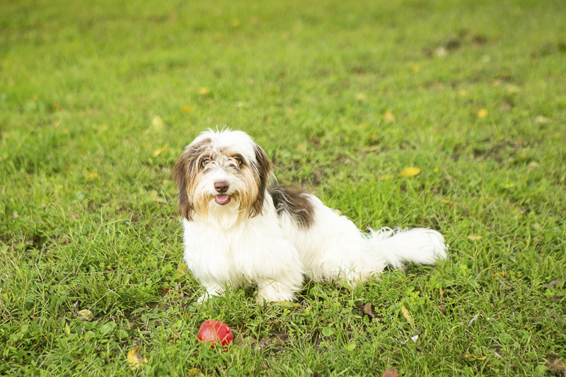adorable soft wire doxie piebald dachshund | © Mandy Whitley Photography on location Nashville pet photography