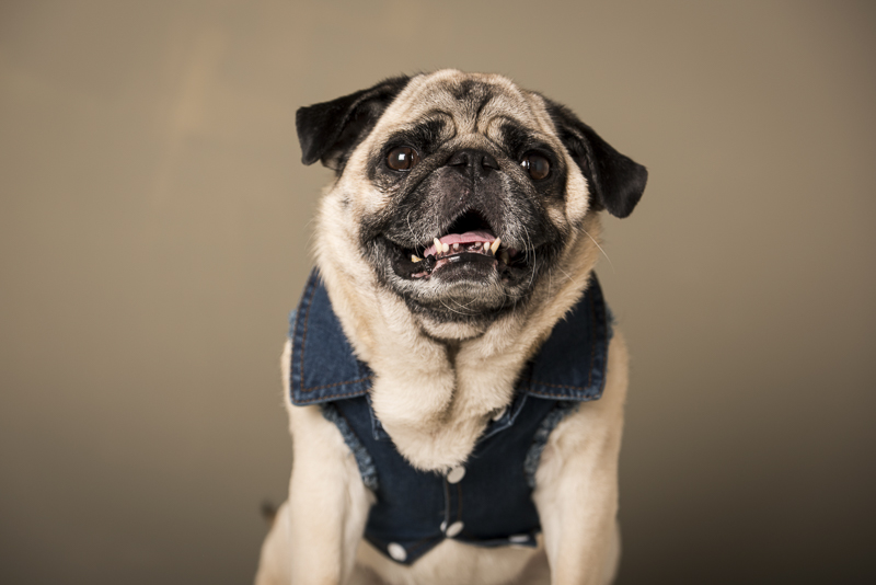 Boogie the Pug wearing denim vest, fashion hound, ©Pets By Petra | Brooklyn studio dog photography