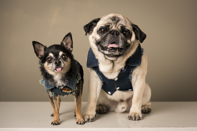 dog dynamic duo, dogs in denim, ©Pets By Petra | Brooklyn studio dog photography