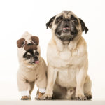 Spotlight:  Boogie the Pug (and Marcelo the Chihuahua)