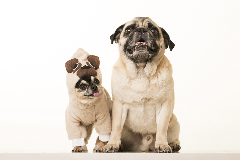 Chihuahua wearing Pug costume and Pug, Boogie the Pug, ©Pets By Petra | Brooklyn studio dog portraits