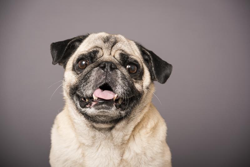Boogie the Pug, dog headshots, ©Pets By Petra | Brooklyn studio dog photographer