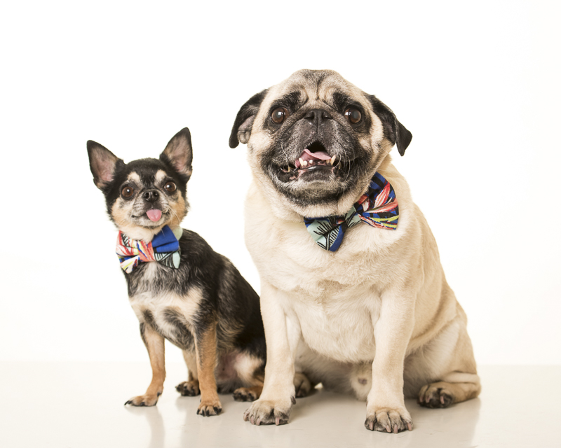 Chi and Pug, handsome dogs wearing bow ties, ©Pets By Petra | Brooklyn studio dog portraits