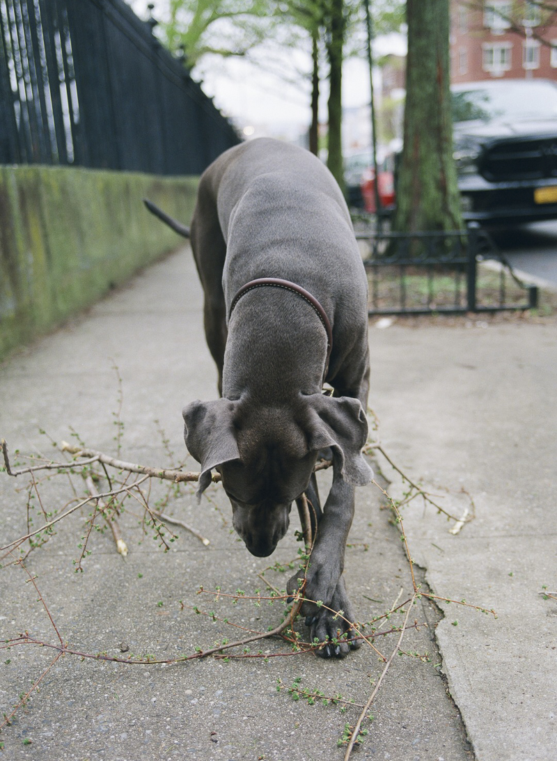big dog chewing on a stick on city sidewalk, Brooklyn dog photography ©Rachel Sima Photography | fine art dog portraits