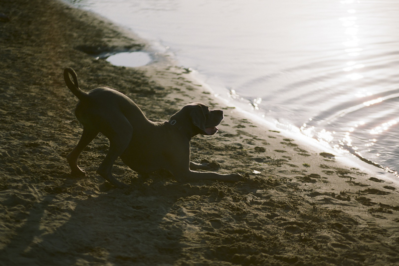 big dog play bowing to water, ©Rachel Sima Photography | Sacramento dog photography