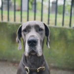 Happy Tails:  Nike The Blue Great Dane
