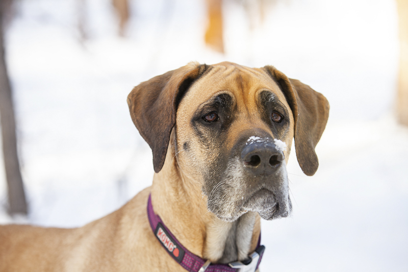 ©Tangled Lilac Photography | Great Dane in the snow, Sedona, Flagstaff pet photographer
