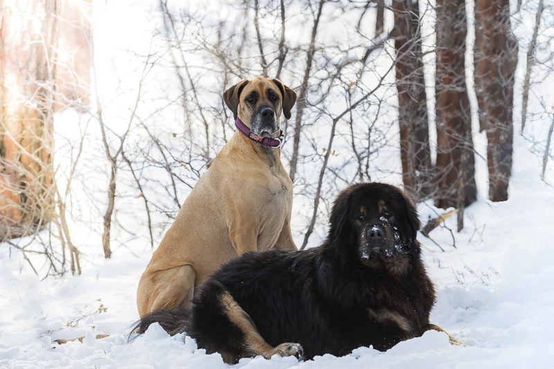 Great Dane and Tibetan Mastiff in the snow, Sedona Pet Photography | Tangled Lilac , dog BFFS