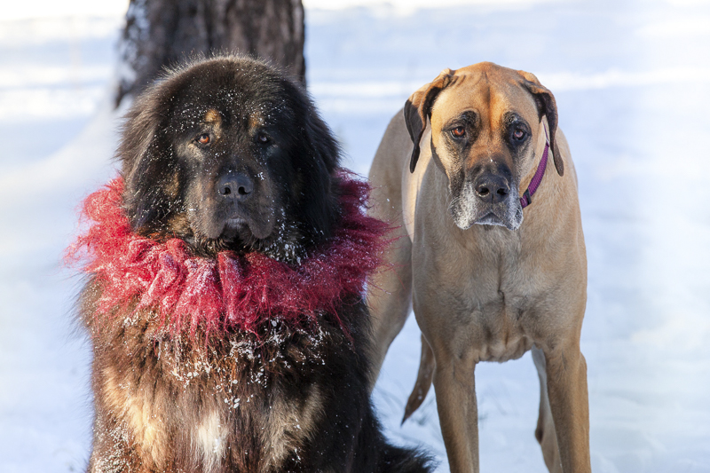 ©Tangled Lilac Photography | dog bffs, Tibetan Mastiff and Great Dane, snowy on location dog portraits, Flagstaff pet photographer