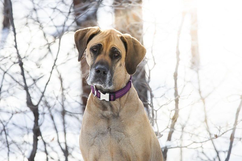 Flagstaff pet photographer, Great Dane, end of life session ©Tangled Lilac Photography