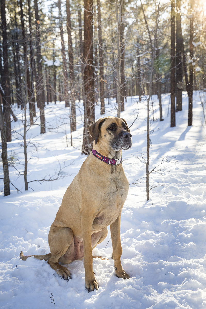 ©Tangled Lilac Photography | lifestyle dog photoshoot, winter dog portraits, Great Dane sittingin the snowy woods