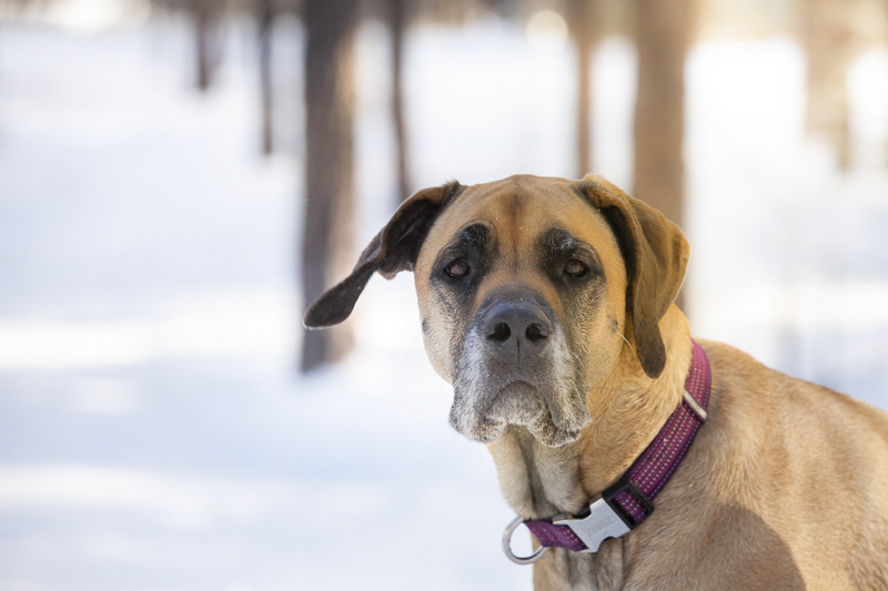 brown Great Dane in the snow, ©Tangled Lilac Photography | pet photography, end of life session