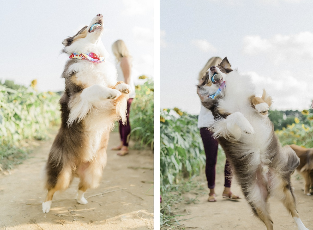 dog catching tennis ball in sunflower patch | ©Yesenia Bocanegra Photography | Raleigh dog photography