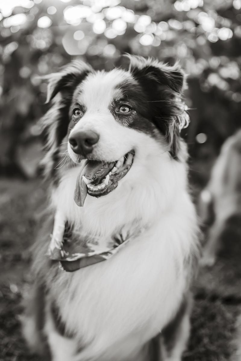 handsome Australian shepherd, black and white dog portraits ©Yesenia Bocanegra Photography