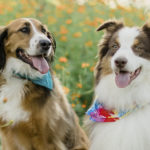 Happy Tails:  Penny the St. Bernard Mix & Peter the Aussie