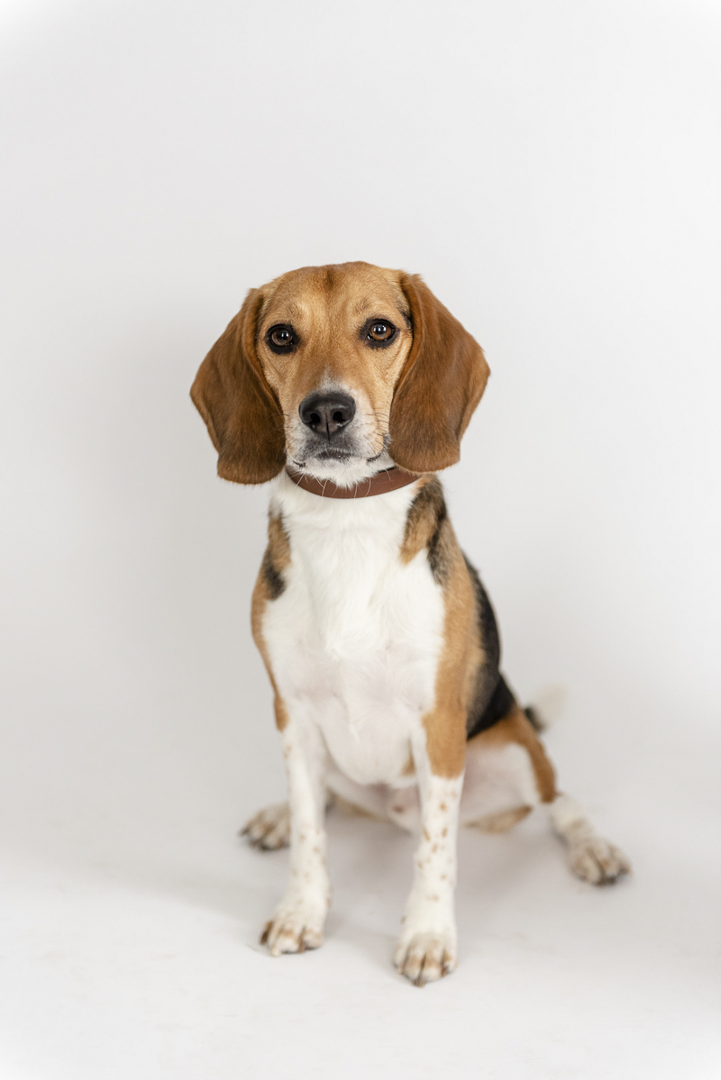 handsome beagle on white sweep, ©Photos by Ariel | studio dog photography