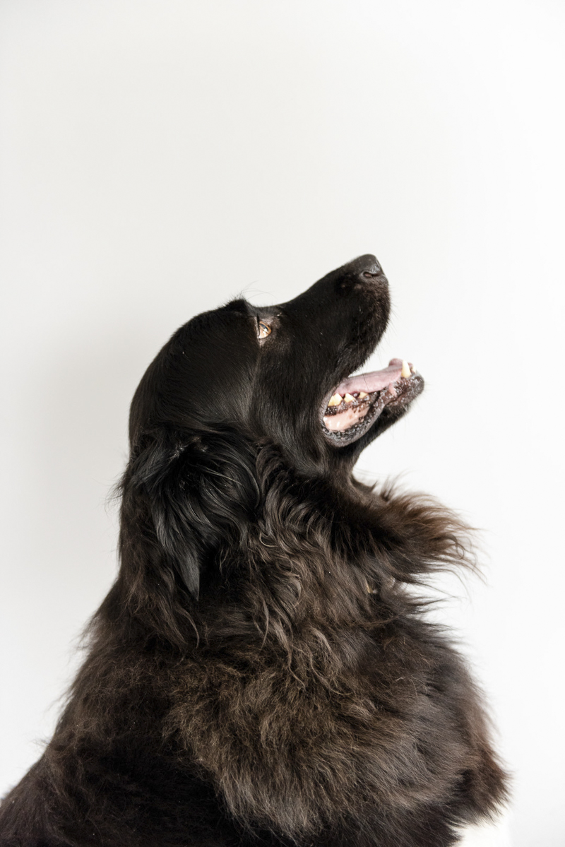 ©Photos by Ariel | studio dog photography, black lab-great Pyrenees mix on white sweep