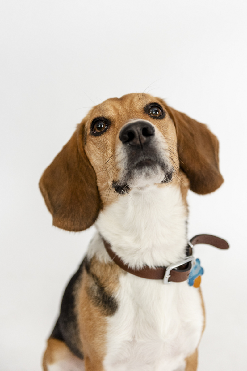 ©Photos by Ariel | studio dog photography, cute Beagle wearing leather collar