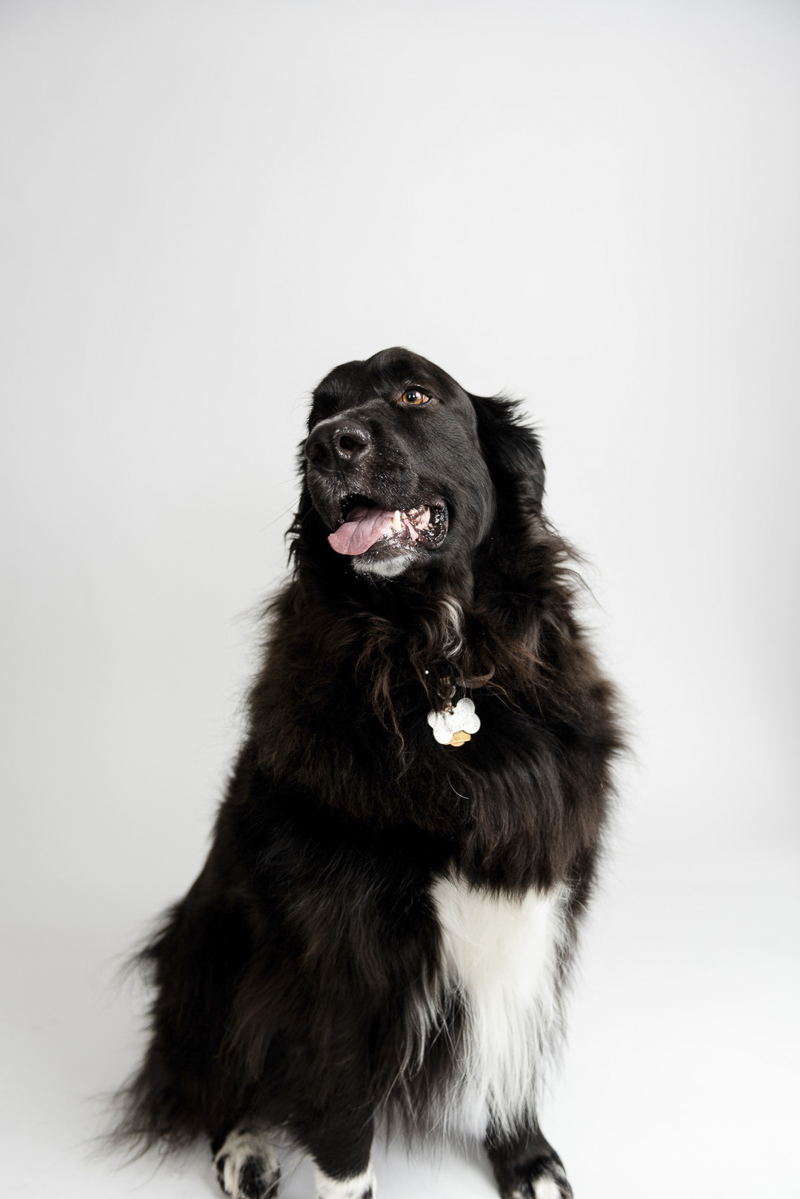 black dog with white chest and feet, studio pet photography ©Photos by Ariel