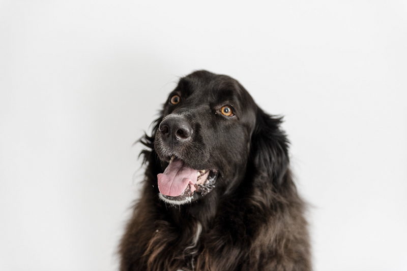 Handsome mixed breed, Great Pyr mix, ©Photos by Ariel | studio dog photography