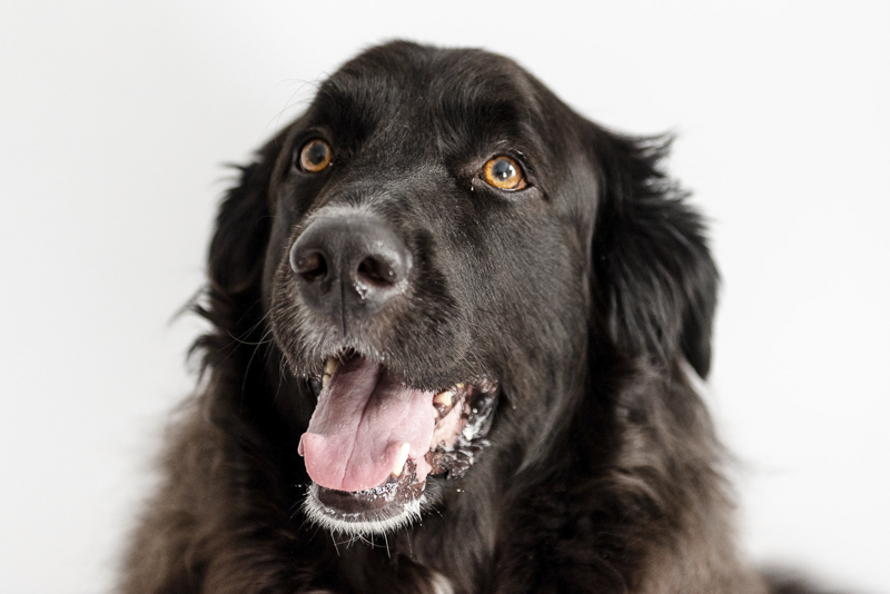 Black Lab-Pyrenees mix on white sweep ©Photos by Ariel | studio dog photography