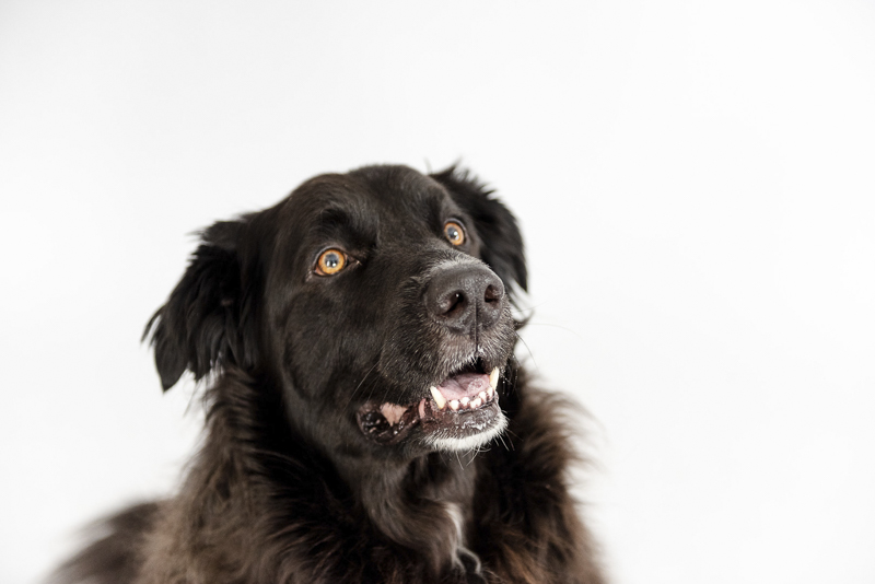 Studio dog photography, Lab-Great Pyrenees mix