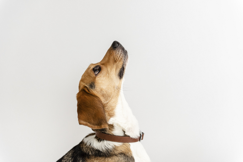 handsome Beagle looking up, ©Photos by Ariel | studio dog portraits