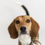 Happy Tails: Charlie the Beagle & Coby the Mixed Breed