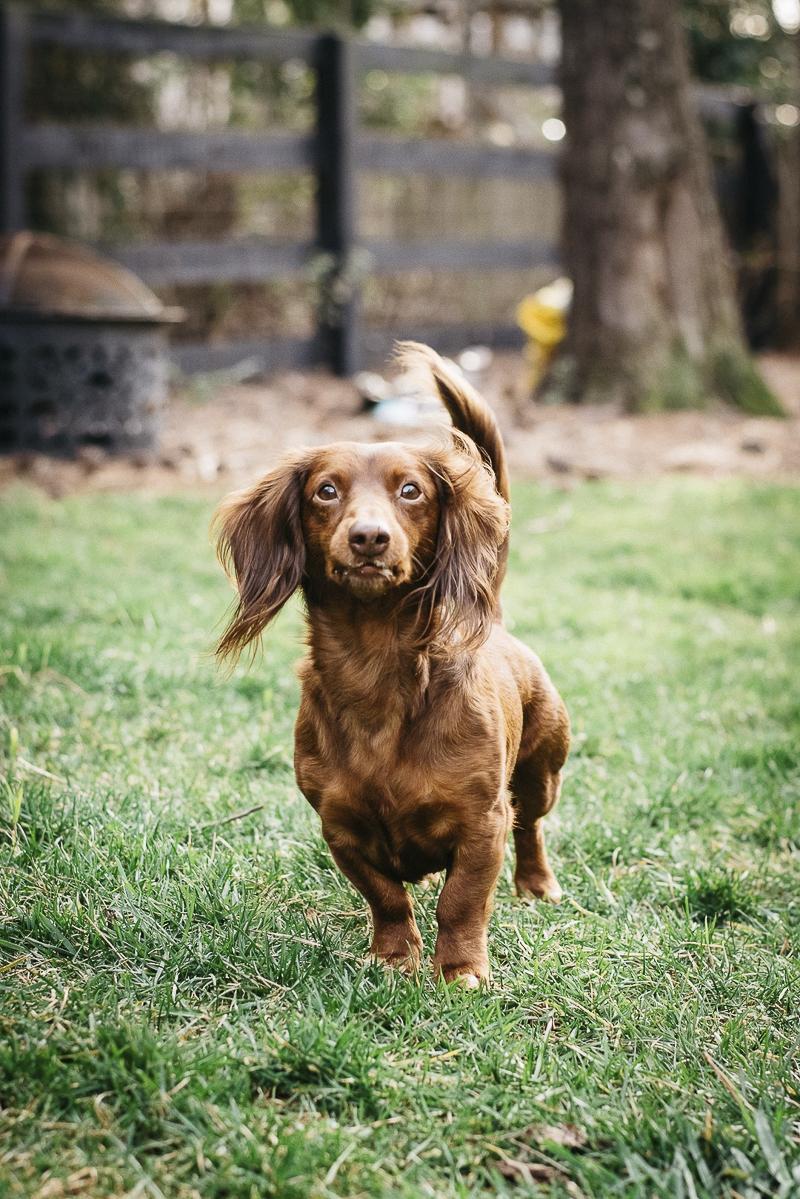 cute Dachshund, lifestyle pet photography ©Dailey Alexandra Photography