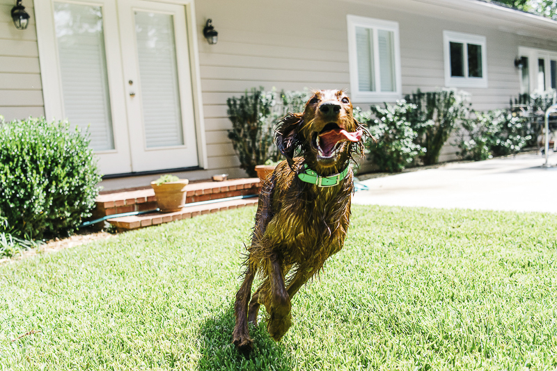 on location pet photography, wet Irish Setter running around the yard | ©Dailey Alexandra Photography | lifestyle dog photography, Aiken, SC