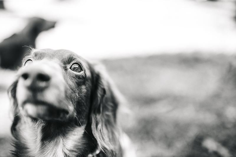 black and white pet photography, Doxie ©Dailey Alexandra Photography | lifestyle dog photography, Aiken, SC