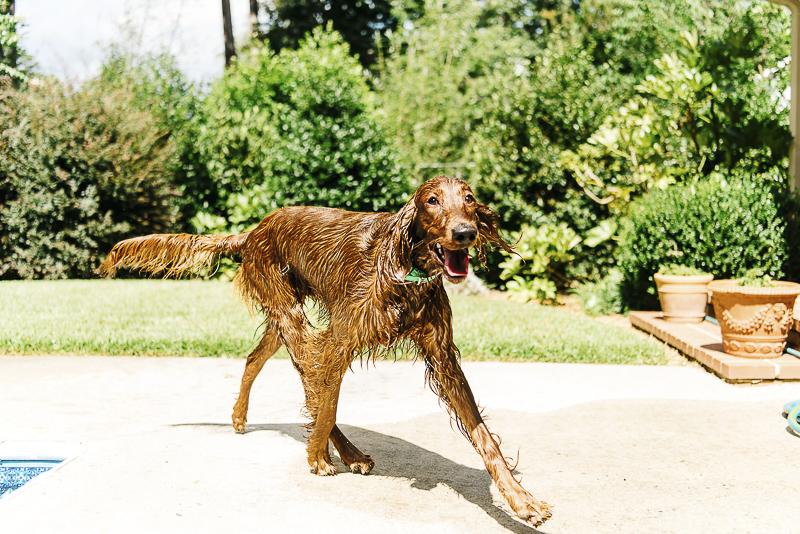 wet, happy dog walking around the pool, ©Dailey Alexandra Photography | lifestyle dog portraits