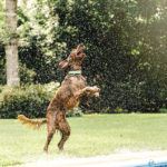 Happy Tails:  Finn the Irish Setter & Sully the Doxie