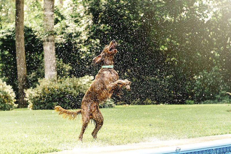 Irish Setter playing in water, ©Dailey Alexandra Photography | lifestyle dog photography, Aiken, SC