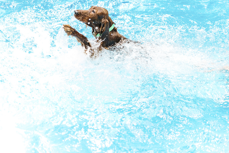 Irish Setter swimming in the pool | ©Dailey Alexandra Photography | on location pet photography, Aiken, SC