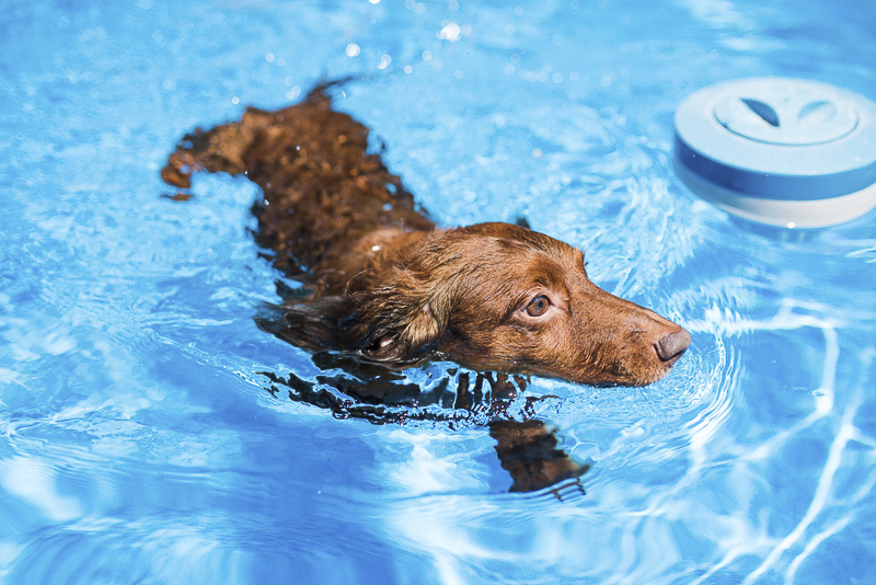 Dachshund swimming in pool, ©Dailey Alexandra Photography | lifestyle dog photography, Aiken, SC