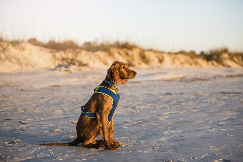 Irish Setter sitting on the beach, golden hour pet photography | ©Dailey Alexandra Photography