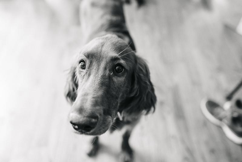 black and white dog photography, Irish Setter ©Dailey Alexandra Photography | lifestyle dog photography, Aiken, SC