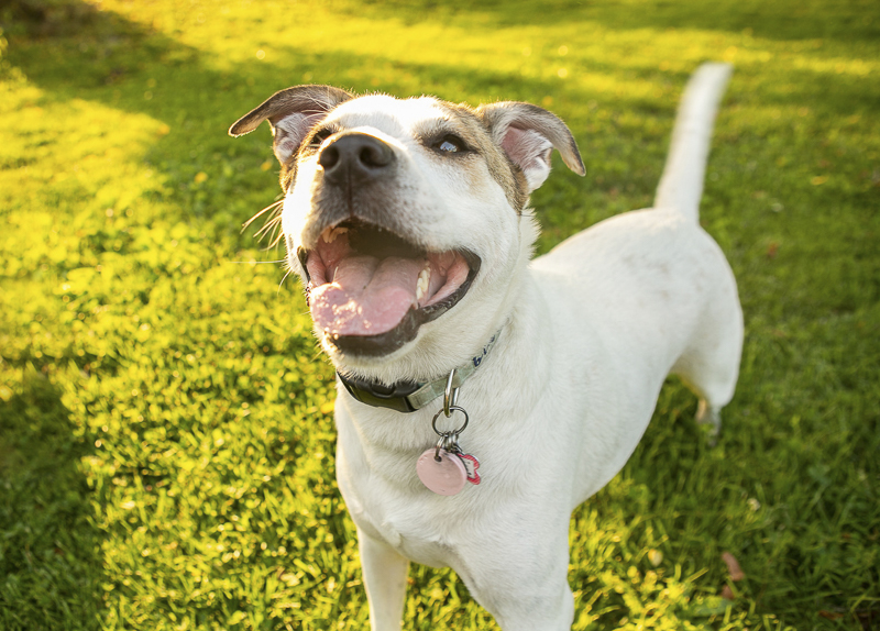 white and tan pit/lab mix, ©Mandy Whitley Photography | Nashville Pet Photographer
