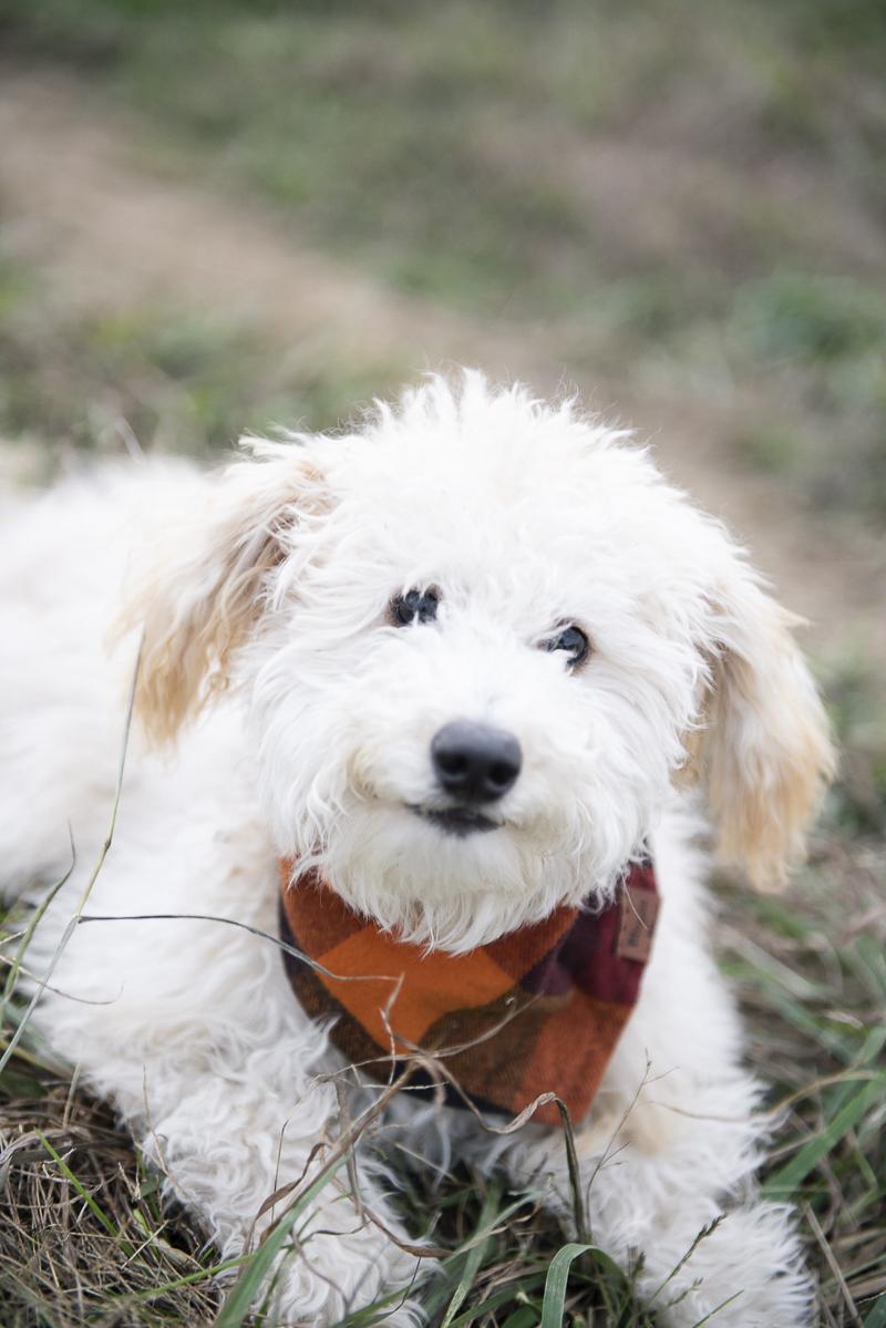 muppet like Labradoodle puppy wearing bandana ©Persuasion Photography | lifestyle dog photography, Memphis, TN